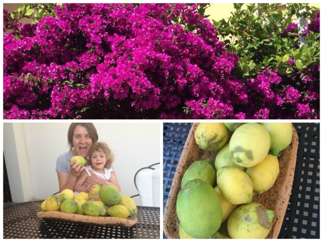 lemon tree and blooming bougainvillea
